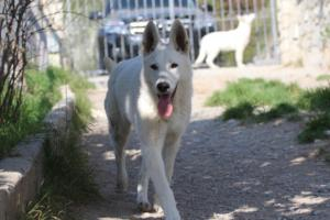 Berger-Blanc-Suisse-Born-to-Win-White-Oligarch-03202