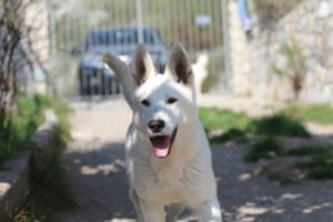 Berger-Blanc-Suisse-Born-to-Win-White-Oligarch-03204