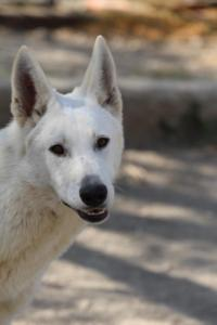 Berger-Blanc-Suisse-Born-to-Win-White-Oligarch-03205