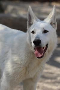 Berger-Blanc-Suisse-Born-to-Win-White-Oligarch-03206