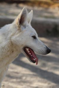 Berger-Blanc-Suisse-Born-to-Win-White-Oligarch-03209