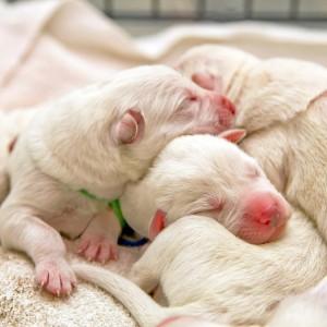 Helen Vaher Photography White swiss shepherd puppies