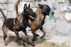 Belgian-Shepherd-Malinois-BTWW-073