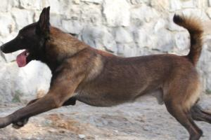 Belgian-Shepherd-Malinois-BTWW-099