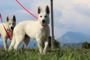 White-Swiss-Shepherd-Breeding-Male-BTWW-Wahlman-August-2018-0047