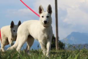 White-Swiss-Shepherd-Breeding-Male-BTWW-Wahlman-August-2018-0048