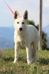 White-Swiss-Shepherd-Breeding-Male-BTWW-Wahlman-August-2018-0051