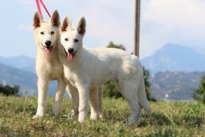 White-Swiss-Shepherd-Breeding-Male-BTWW-Wahlman-August-2018-0054