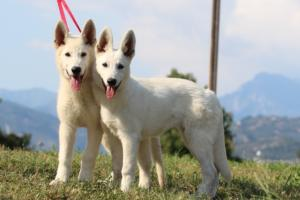 White-Swiss-Shepherd-Breeding-Male-BTWW-Wahlman-August-2018-0055