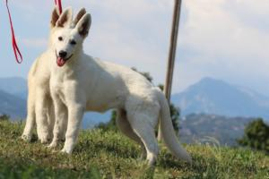 White-Swiss-Shepherd-Breeding-Male-BTWW-Wahlman-August-2018-0057