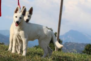 White-Swiss-Shepherd-Breeding-Male-BTWW-Wahlman-August-2018-0058