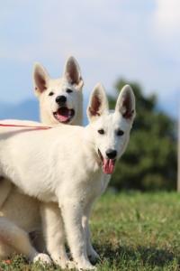 White-Swiss-Shepherd-Breeding-Male-BTWW-Wahlman-August-2018-0092