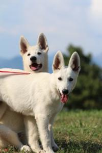 White-Swiss-Shepherd-Breeding-Male-BTWW-Wahlman-August-2018-0093