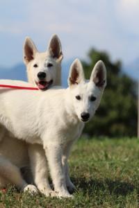 White-Swiss-Shepherd-Breeding-Male-BTWW-Wahlman-August-2018-0094