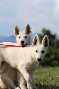 White-Swiss-Shepherd-Breeding-Male-BTWW-Wahlman-August-2018-0095