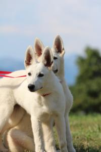 White-Swiss-Shepherd-Breeding-Male-BTWW-Wahlman-August-2018-0096