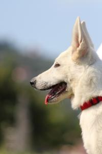 White-Swiss-Shepherd-Breeding-Male-BTWW-Wahlman-August-2018-0101