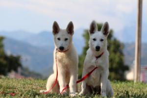 White-Swiss-Shepherd-Breeding-Male-BTWW-Wahlman-August-2018-0120