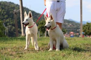 White-Swiss-Shepherd-Breeding-Male-BTWW-Wahlman-August-2018-0125