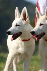 White-Swiss-Shepherd-Breeding-Male-BTWW-Wahlman-August-2018-0136