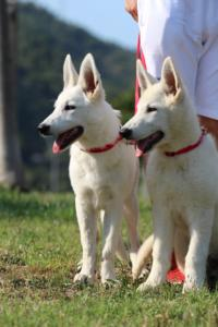 White-Swiss-Shepherd-Breeding-Male-BTWW-Wahlman-August-2018-0137