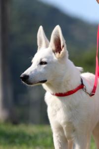 White-Swiss-Shepherd-Breeding-Male-BTWW-Wahlman-August-2018-0145
