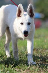 White-Swiss-Shepherd-Breeding-Male-BTWW-Wahlman-August-2018-0153