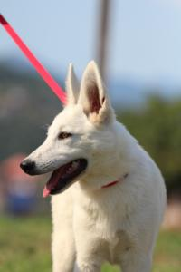 White-Swiss-Shepherd-Breeding-Male-BTWW-Wahlman-August-2018-0156