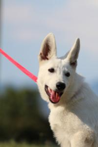 White-Swiss-Shepherd-Breeding-Male-BTWW-Wahlman-August-2018-0166