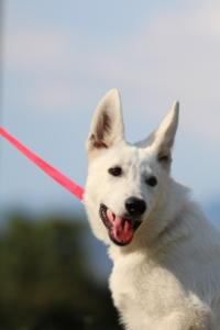 White-Swiss-Shepherd-Breeding-Male-BTWW-Wahlman-August-2018-0167