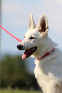 White-Swiss-Shepherd-Breeding-Male-BTWW-Wahlman-August-2018-0172