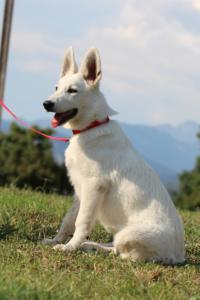 White-Swiss-Shepherd-Breeding-Male-BTWW-Wahlman-August-2018-0203