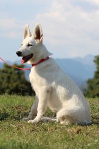 White-Swiss-Shepherd-Breeding-Male-BTWW-Wahlman-August-2018-0204