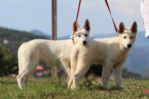 White-Swiss-Shepherd-Breeding-Male-BTWW-Wahlman-August-2018-0221