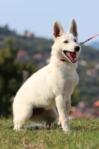 White-Swiss-Shepherd-Breeding-Male-BTWW-Wahlman-August-2018-0228