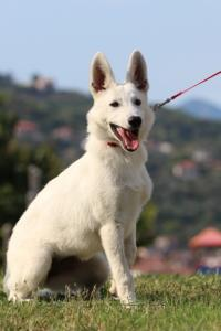 White-Swiss-Shepherd-Breeding-Male-BTWW-Wahlman-August-2018-0229