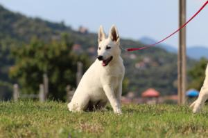 White-Swiss-Shepherd-Breeding-Male-BTWW-Wahlman-August-2018-0245
