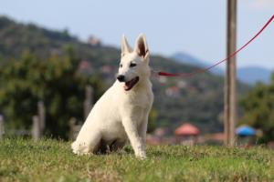 White-Swiss-Shepherd-Breeding-Male-BTWW-Wahlman-August-2018-0246