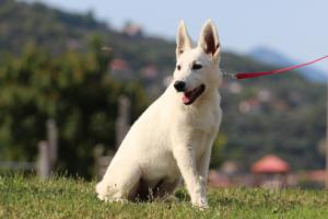 White-Swiss-Shepherd-Breeding-Male-BTWW-Wahlman-August-2018-0249