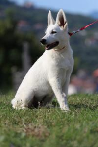White-Swiss-Shepherd-Breeding-Male-BTWW-Wahlman-August-2018-0251
