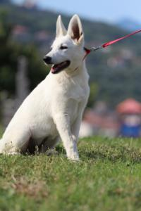 White-Swiss-Shepherd-Breeding-Male-BTWW-Wahlman-August-2018-0252