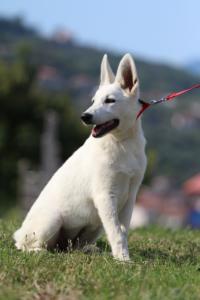 White-Swiss-Shepherd-Breeding-Male-BTWW-Wahlman-August-2018-0253