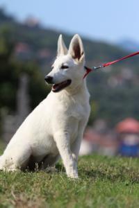 White-Swiss-Shepherd-Breeding-Male-BTWW-Wahlman-August-2018-0254