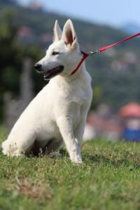 White-Swiss-Shepherd-Breeding-Male-BTWW-Wahlman-August-2018-0255
