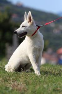 White-Swiss-Shepherd-Breeding-Male-BTWW-Wahlman-August-2018-0256