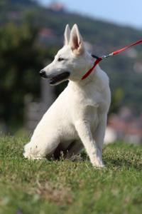 White-Swiss-Shepherd-Breeding-Male-BTWW-Wahlman-August-2018-0257