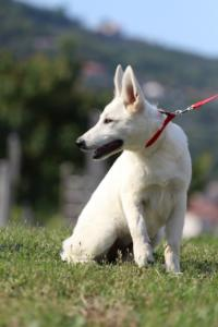 White-Swiss-Shepherd-Breeding-Male-BTWW-Wahlman-August-2018-0258