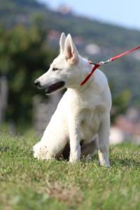 White-Swiss-Shepherd-Breeding-Male-BTWW-Wahlman-August-2018-0259