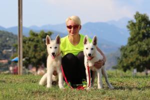 White-Swiss-Shepherd-Breeding-Male-BTWW-Wahlman-August-2018-0268