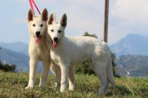 White-Swiss-Shepherd-Breeding-Male-BTWW-Wahlman-August-2018-0056